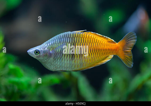 Boesemans rainbowfish (Melanotaenia boesemani). Wildlife animal ...