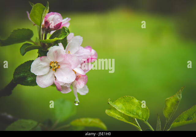 Apple blossoms after a rainfall during springtime in upstate New York. - Stock Image