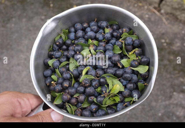 Blackthorn Bush For Sale