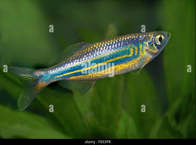 Danios stock photos danios stock images alamy for Giant danio fish