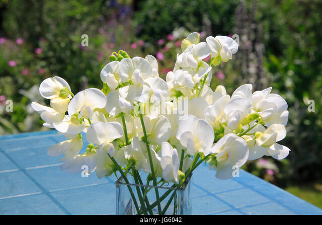 Sweet pea flowers stock photos sweet pea flowers stock images alamy vase white sweet peas flowers on top of a table suffolk england uk mightylinksfo Image collections