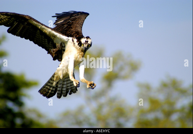 Osprey pandion haliaetus carolinensis stock photos for Fish hawk fl