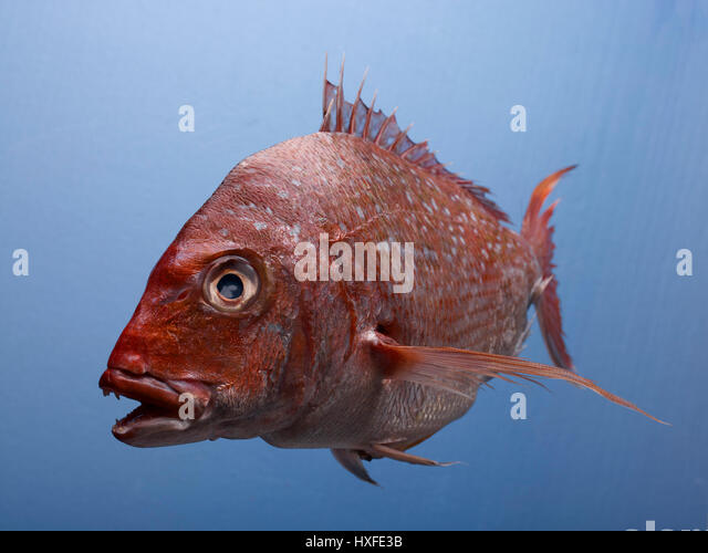 Red snapper fishing stock photos red snapper fishing for Red snapper fishing
