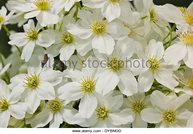 Clematis april stock photos clematis april stock images alamy clematis x cartmanii avalanche spring flower evergreen scented scent perfume climbing vine cream white april garden mightylinksfo Gallery