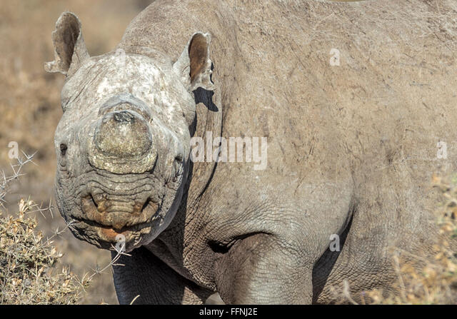 dehorning black rhinos essay His 8,000 hectare property carries 1,405 rhinos, only 17 of which are black there is no long-term impact of dehorning, as long as all rhinos in an area are.
