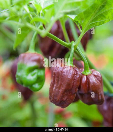 how to grow hotter habanero