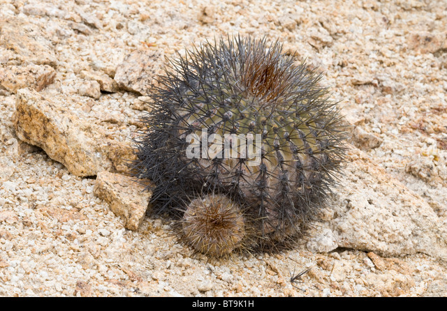 Cacti in habitat stock photos cacti in habitat stock for Feroxcactus chile
