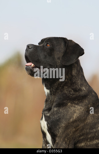 Molosser Hund Stock Ph...