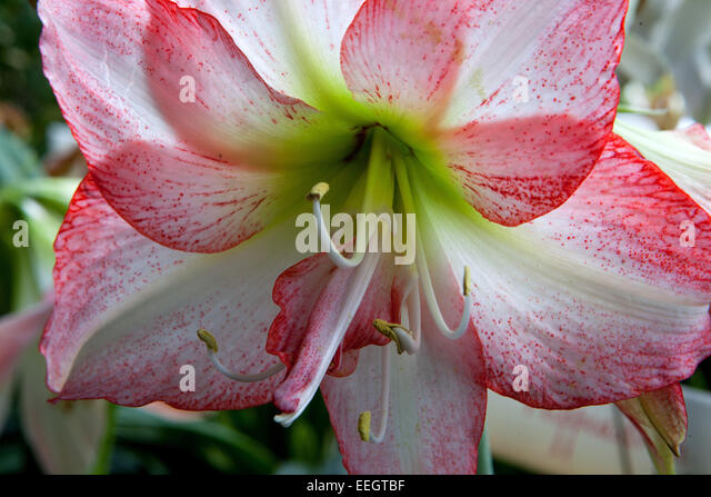 Amaryllis hippeastrum stock photos amaryllis hippeastrum for 741 evergreen terrace