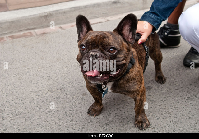 Brown And White French Bulldog | www.imgkid.com - The ...