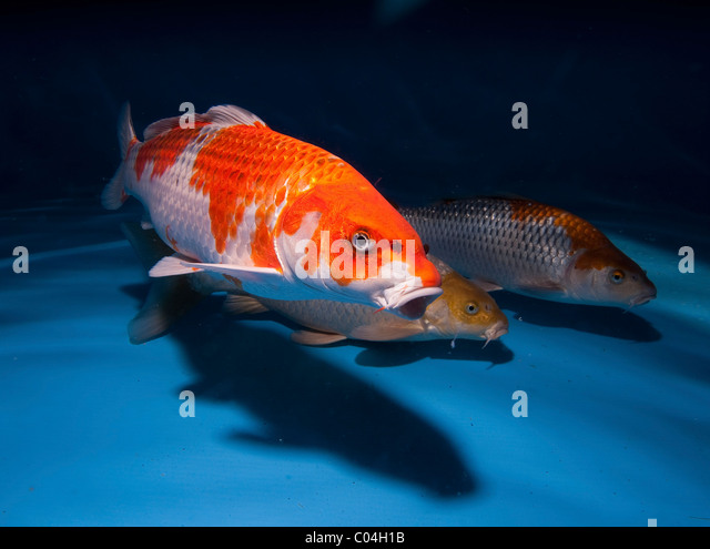Domesticated common carp stock photos domesticated for Koi carp varieties