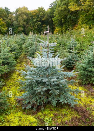 tree nursery with planted christmas trees hesse germany stock image - Christmas Tree Nursery