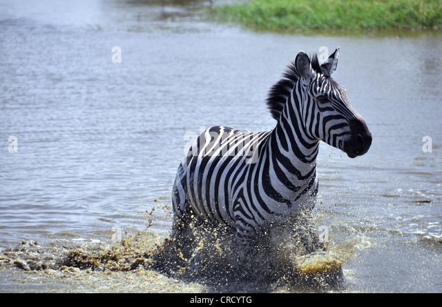 Zebras Running Through Water Zebras Running Plains ...