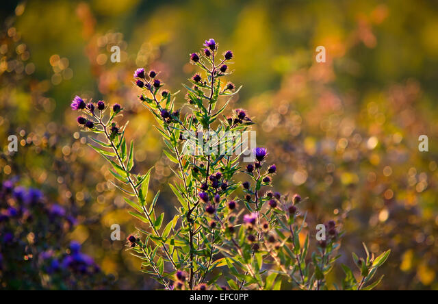 Golden Asters Stock Photos Golden Asters Stock Images