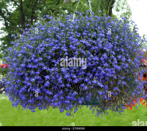 Lobelia Erinus Stock Photos Amp Lobelia Erinus Stock Images