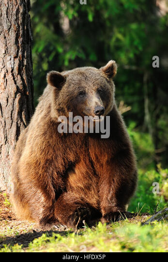 Grizzly bear sitting up - photo#52