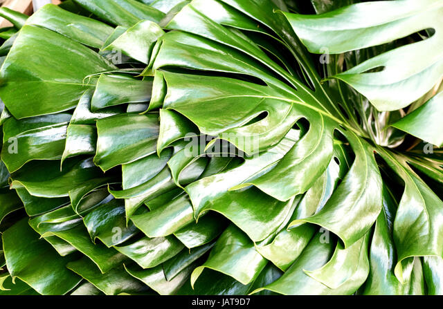swiss cheese plant monstera deliciosa in lush green color stock image