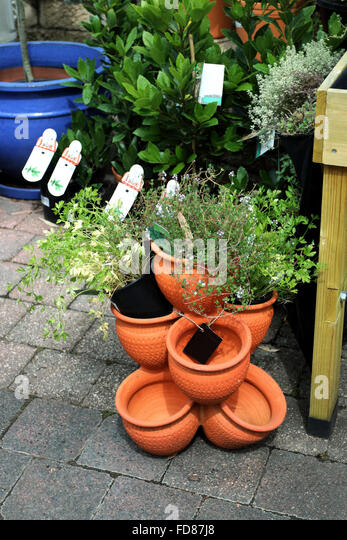 Growing herbs in Terracotta pots for sale at garden nursery - Stock Image