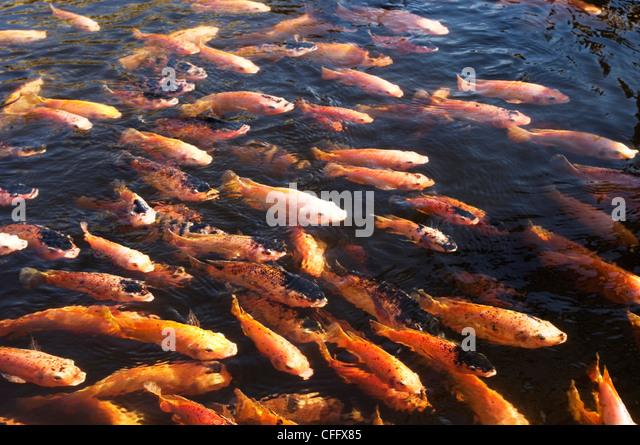 Koi fish stock photos koi fish stock images alamy for Koi fish representation