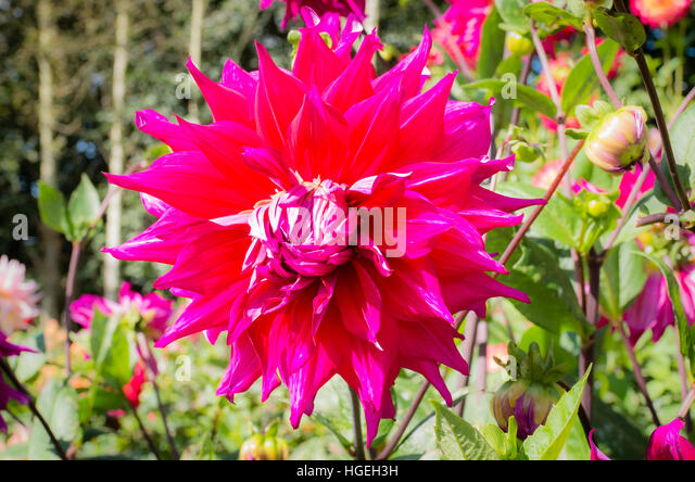 Dahlia Jacondo Flowering In September In The UK   Stock Image