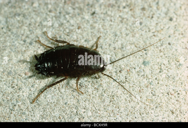 Kchenschabe Cockroaches Blattodea Stock Photos Cockroaches