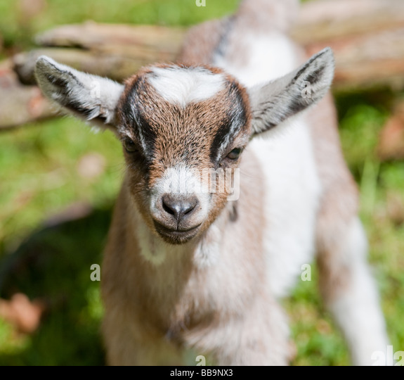 Baby Pygmy Goat Stock Photos & Baby Pygmy Goat Stock ...
