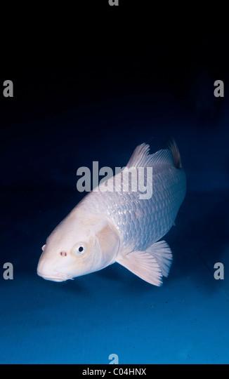 Yamabuki stock photos yamabuki stock images alamy for Ornamental carp
