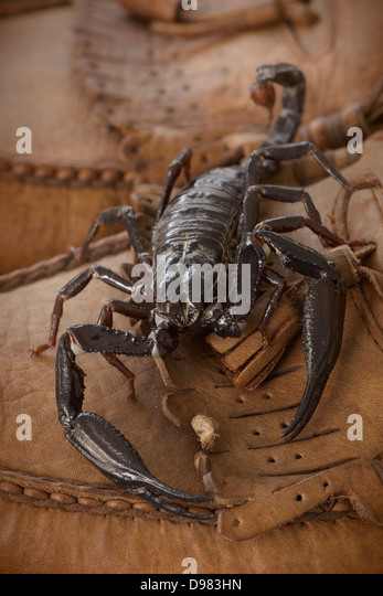 H Spinifer Scorpions Heterometrus St...