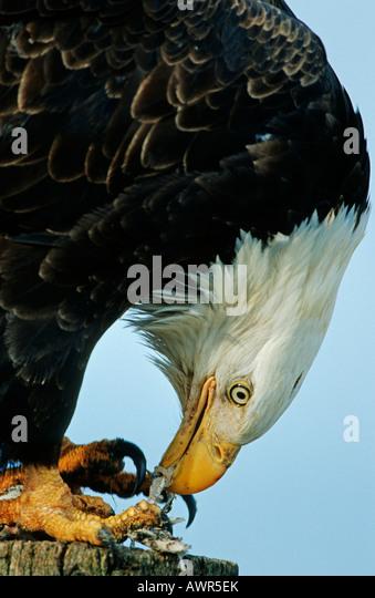 Eagle eating fish stock photos eagle eating fish stock for Fish eating eagle