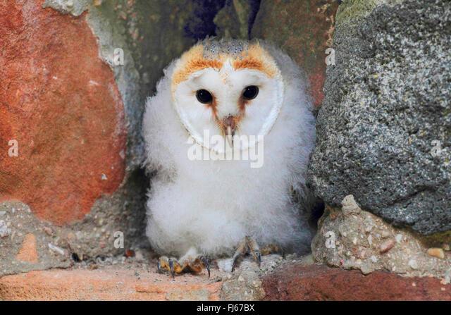 Juvenile Barn Owl Stoc...