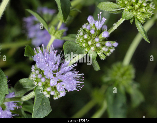 Chemical Composition Of Mentha Pulegium L Pennyroyal: Mosquito Flower Stock Photos & Mosquito Flower Stock
