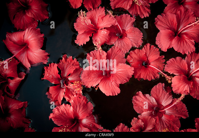 india hibiscus flowers stock photos  india hibiscus flowers stock, Natural flower