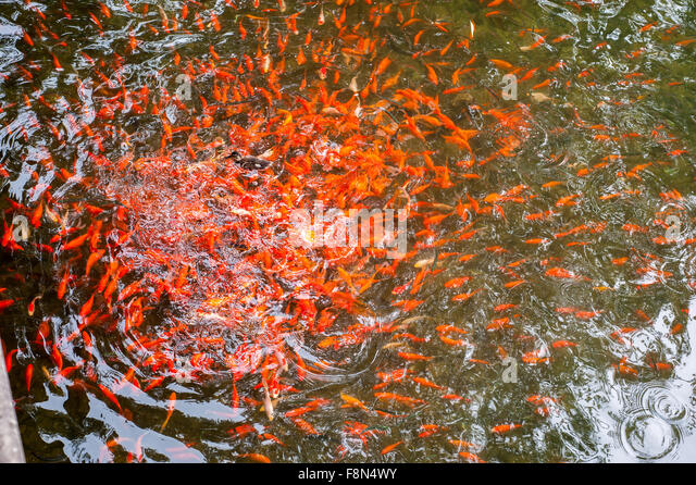 Lucky fish stock photos lucky fish stock images alamy for Ornamental pond fish golden