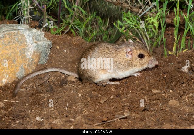 Heteromyidae Stock Photos & Heteromyidae Stock Images - Alamy
