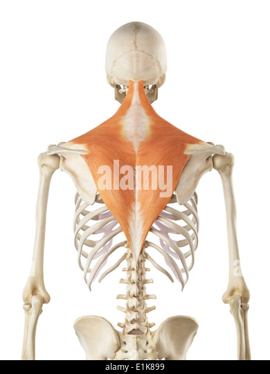 trapezius muscles stock photos & trapezius muscles stock images, Muscles