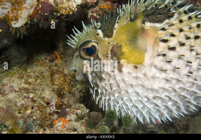 Spiny Pufferfish Stock Photos & Spiny Pufferfish Stock ...