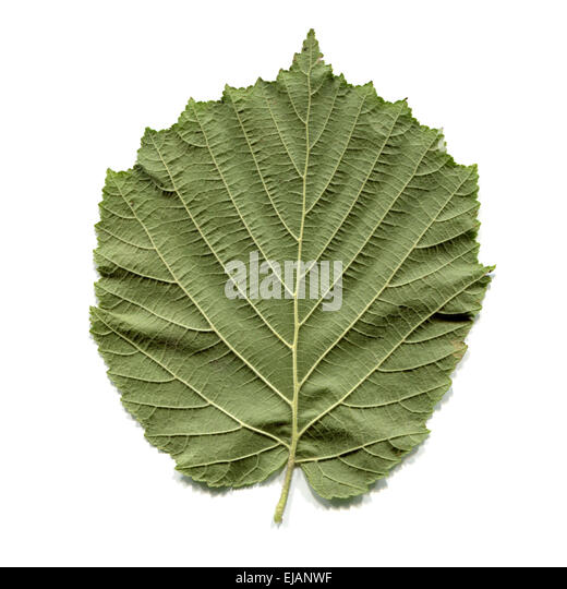 Hazel Tree Cut Out Stock Images & Pictures - Alamy