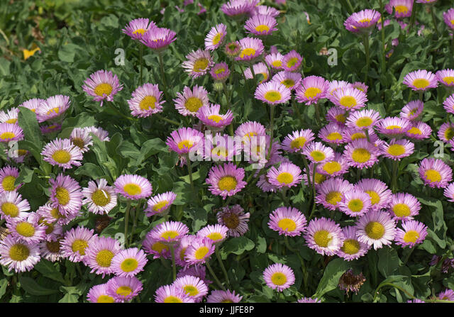 Pink flowers yellow center stock photos pink flowers yellow center pink flowers with yellow centres set against green leaves of this prostrate spreading rockery mightylinksfo