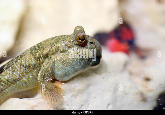 Barred mudskipper (Periophthalmus argentilineatus) in Japan - Stock ...