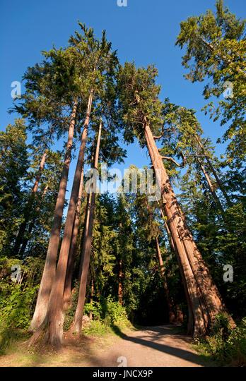 Western Red Cedar Tree ~ Western red cedar stock photos