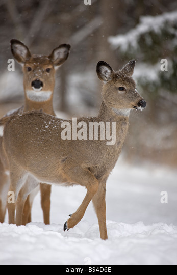Whitetail Deer Snow Stock Photos Amp Whitetail Deer Snow