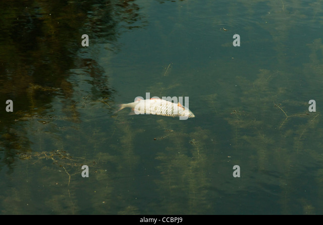 Dead fish floating stock photos dead fish floating stock for Floating fish pond