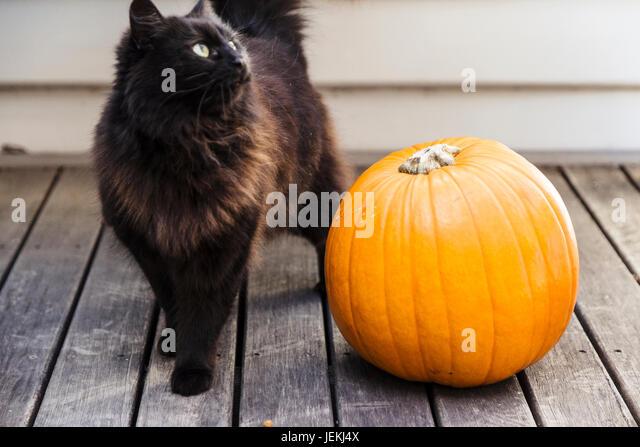 Black Cat With Pumpkins, Halloween   Stock Image