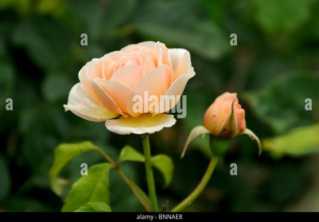 da rose rose struds english rose