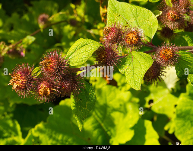 Burdock burrs stock photos burdock burrs stock images for Plant in an english hedge crossword clue