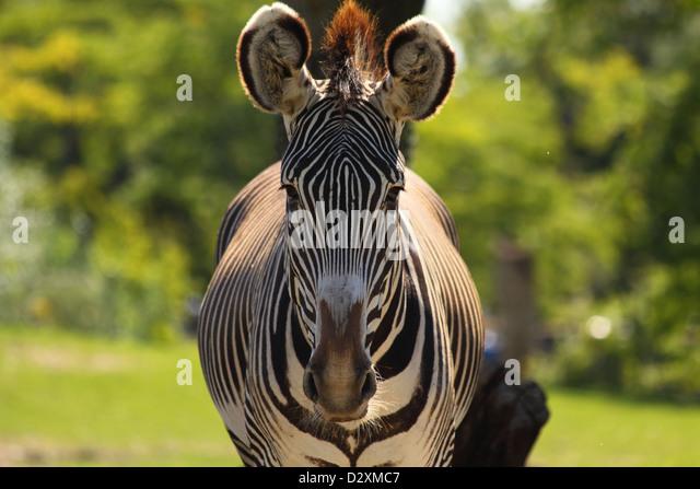 Zebra Staring Stock Ph...