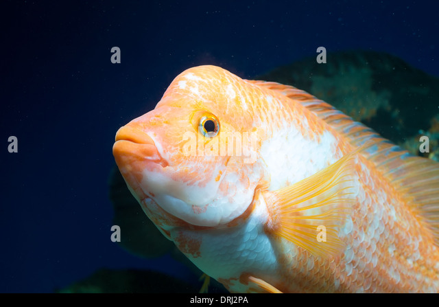 Yellow cichlids stock photos yellow cichlids stock for Yellow fish tank water