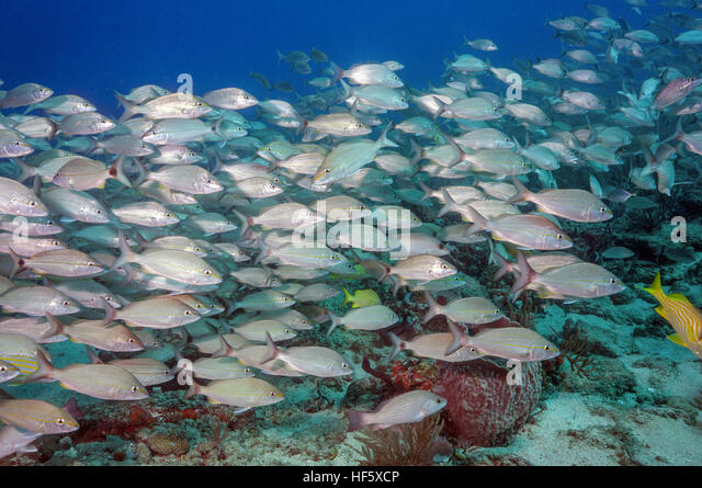 Florida reef fish stock photos florida reef fish stock for Florida reef fish