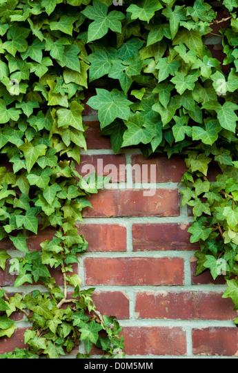 Ivy Stock Photos Amp Ivy Stock Images Alamy