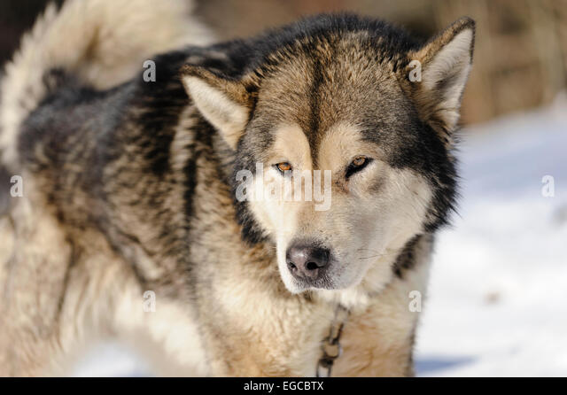 Alaskan Malamute Westminster Dog Show